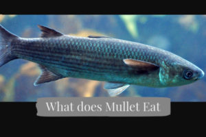 what does mullet fish eat
